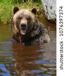 the grizzly bear also known as...   Shutterstock . vector #1076397374