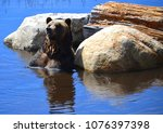the grizzly bear also known as...   Shutterstock . vector #1076397398