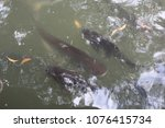 Small photo of Animalia Chordata Siluriformes Clariidae Clarias batrachus Clarias cataractus