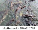 Small photo of Animalia Chordata Siluriformes Clariidae Clarias batrachus Clarias cataractus