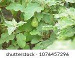green brinjal plant   eggplant... | Shutterstock . vector #1076457296