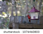 bright red male northern... | Shutterstock . vector #1076460803