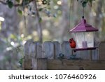 bright red male northern... | Shutterstock . vector #1076460926
