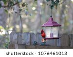 bright red male northern... | Shutterstock . vector #1076461013