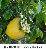 pomelo and flowers | Shutterstock . vector #1076463623