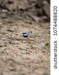 white wagtail   scientific name ... | Shutterstock . vector #1076488820