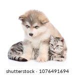 Alaskan Malamute Puppy Hugging...