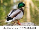 duck close up | Shutterstock . vector #1076501423
