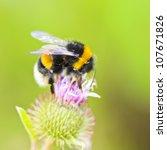 bumble bee sitting on wild...