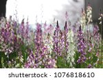 Small photo of Bloming linaria flowers