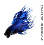 betta, siamese fighting fish isolated on white background - stock photo