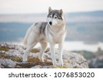 A Delightful Gray Siberian...