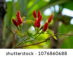group of chili peppers on... | Shutterstock . vector #1076860688