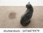 cute cat on carpet near wet spot | Shutterstock . vector #1076875979