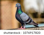 Indian Pigeon Sitting On Ledge...