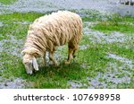 A sheep eating a grass at farm - stock photo
