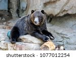 grizzly bear at denver zoo...   Shutterstock . vector #1077012254