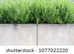 green and fresh rosemary plant... | Shutterstock . vector #1077022220