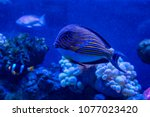 Small photo of Acanthurus lineatus fish close up