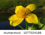 caltha palustris  marsh...   Shutterstock . vector #1077024188