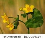 caltha palustris  marsh...   Shutterstock . vector #1077024194