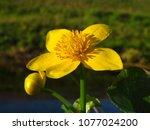 caltha palustris  marsh...   Shutterstock . vector #1077024200