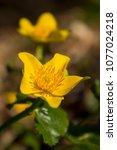 caltha palustris  marsh...   Shutterstock . vector #1077024218