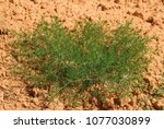 Small photo of Salsola Kali,Allergens Plants