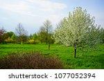 malus dolgo  decorative apple... | Shutterstock . vector #1077052394