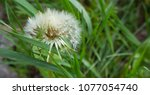 dandelion at springtime | Shutterstock . vector #1077054740