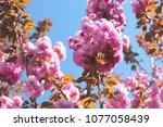 blooming sakura. natural... | Shutterstock . vector #1077058439