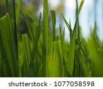 close up of grass | Shutterstock . vector #1077058598