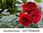 three beauty red roses with... | Shutterstock . vector #1077058640