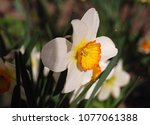 beautiful spring daffodils | Shutterstock . vector #1077061388