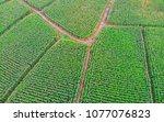 Aerial View Of Corn Field Top...