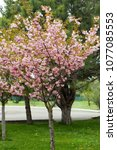blossoming peach tree branches. | Shutterstock . vector #1077085553