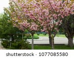 blossoming peach tree branches. | Shutterstock . vector #1077085580