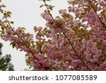 blossoming peach tree branches. | Shutterstock . vector #1077085589