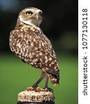 Small photo of Burrowing Owl checking out his surroundings while stood on a feeding post with a snack