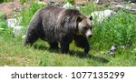 the grizzly bear also known as... | Shutterstock . vector #1077135299