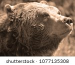 the grizzly bear also known as...   Shutterstock . vector #1077135308
