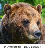 the grizzly bear also known as...   Shutterstock . vector #1077135314
