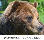 the grizzly bear also known as...   Shutterstock . vector #1077135320
