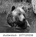 the grizzly bear also known as...   Shutterstock . vector #1077135338