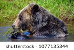 the grizzly bear also known as...   Shutterstock . vector #1077135344