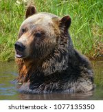 the grizzly bear also known as...   Shutterstock . vector #1077135350