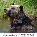 the grizzly bear also known as...   Shutterstock . vector #1077135368