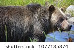 the grizzly bear also known as...   Shutterstock . vector #1077135374