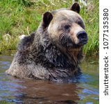 the grizzly bear also known as...   Shutterstock . vector #1077135380