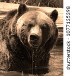 the grizzly bear also known as...   Shutterstock . vector #1077135398